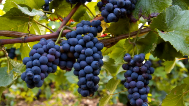 grapes hanging of the vineyard, - champagne stock videos & royalty-free footage