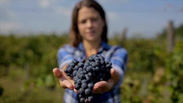 vidéos et rushes de récolte de raisins. mains d'agriculteurs avec fraîchement récoltés raisins noirs. - plante grimpante