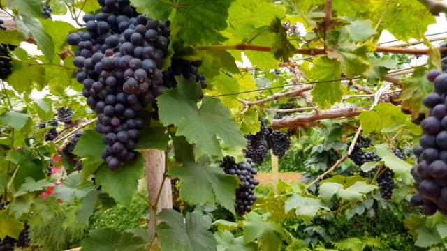 vidéos et rushes de récolte de raisins. les fermiers se font les mains avec des raisins noirs fraîchement récoltés. - viticulture