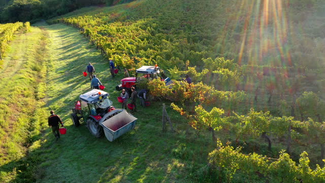 grapes harvest in chianti wine region, tuscany, italy - agricultural machinery stock videos & royalty-free footage