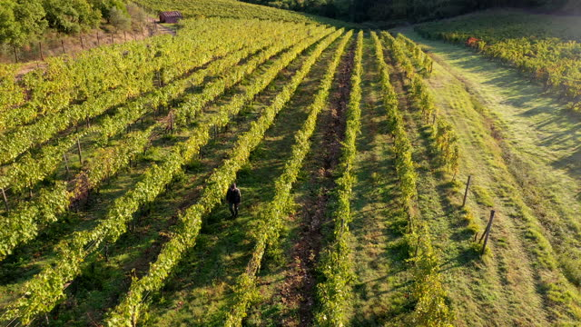 grapes harvest in chianti wine region, tuscany, italy - vine stock videos & royalty-free footage