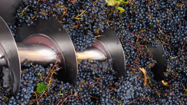 vídeos de stock e filmes b-roll de grapes harvest in chianti wine region, tuscany, italy - uva