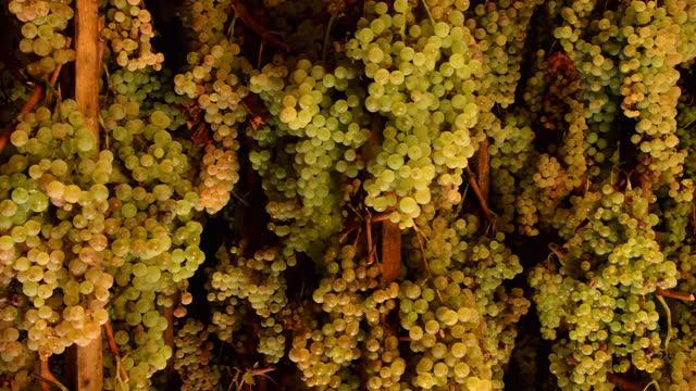 grapes harvest in chianti wine region, tuscany, italy - raisin stock videos & royalty-free footage