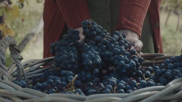 vídeos y material grabado en eventos de stock de cosecha de uvas - uva cabernet sauvignon