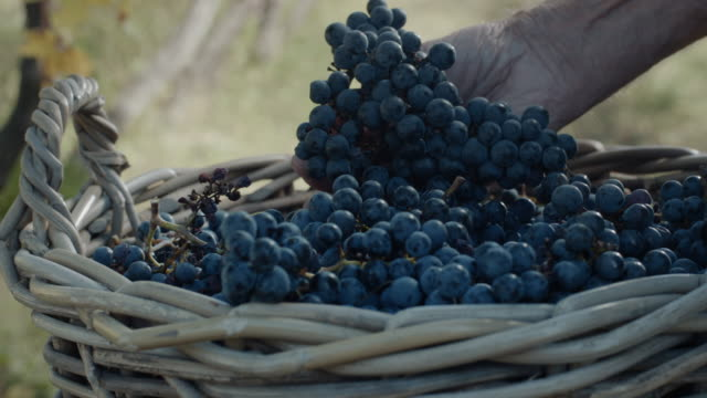 grapes harvest - grape stock videos & royalty-free footage