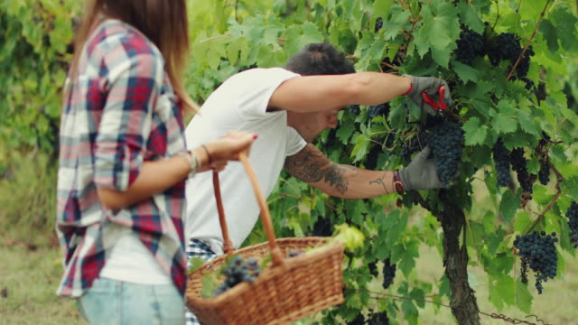 grapes harvesting and picking up in italy - tuscany stock videos and b-roll footage