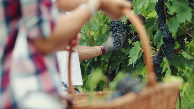 grapes harvesting and picking up in italy - siena italy stock videos and b-roll footage