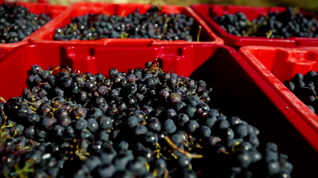 Grapes Harvesting and Picking Up