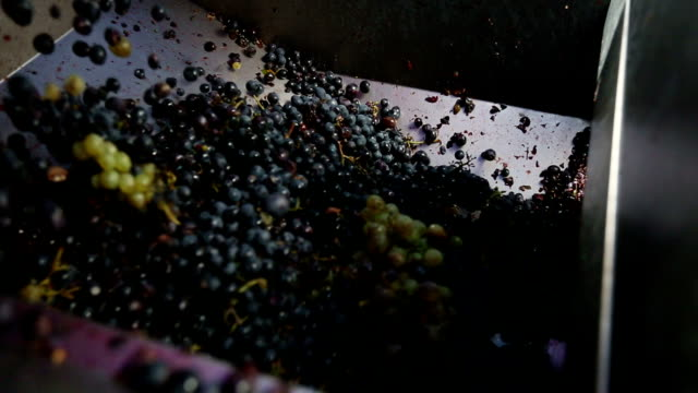 Grapes Harvesting in a Vineyard: pressing machine