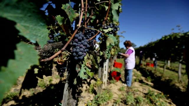Grapes Harvesting: vineyard view