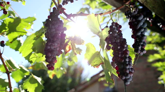grapes harvesting: vineyard view - mediterranean culture stock videos & royalty-free footage