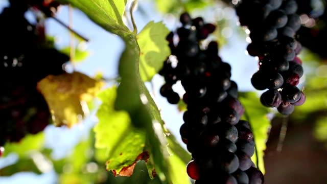 ブドウの収穫: ワイナリービュー - ブドウ点の映像素材/bロール