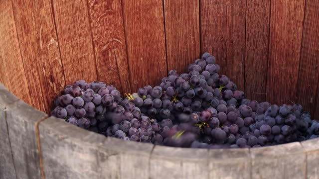 Grapes in a barrel waiting to be crushed to make wine
