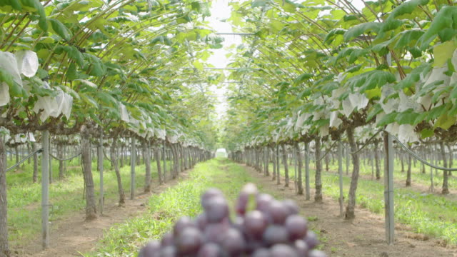 grapes in a basket / yeongheungdo island, incheon, south korea - fruit bowl stock videos & royalty-free footage