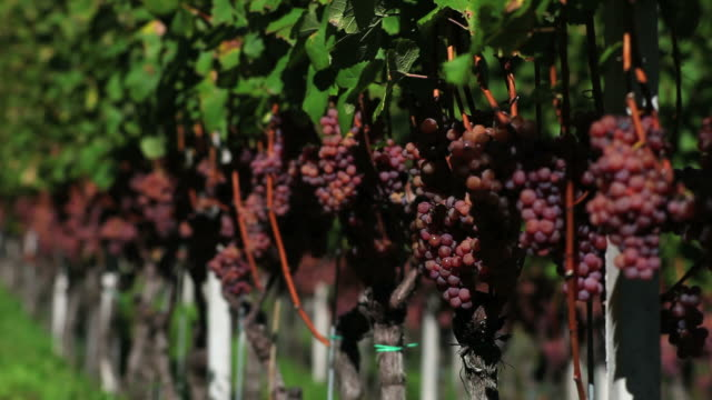 HD Grapes in a Vineyard (Loopable)