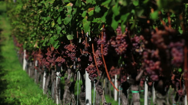 Grapes in a Vineyard (Loopable)