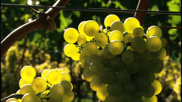 grapes in the sunshine - rankenpflanze stock-videos und b-roll-filmmaterial
