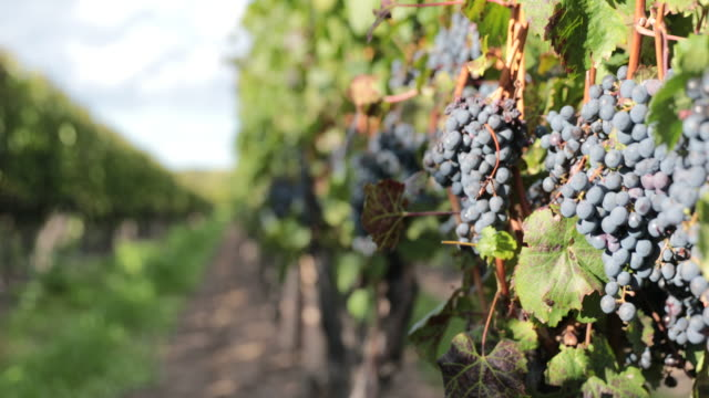 grapes in vineyard uhd 4k - ontario canada stock videos and b-roll footage