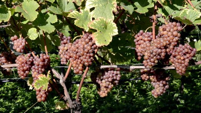 vidéos et rushes de grapes in vineyard - raisin noir