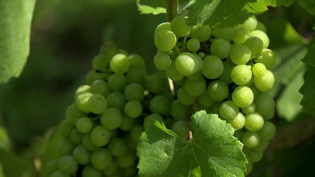 grapes on bush - grape leaf stock videos & royalty-free footage
