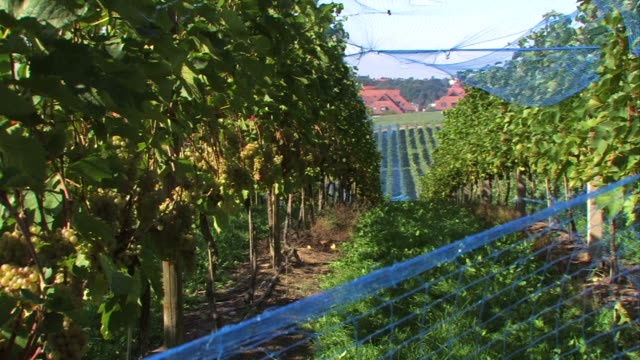 grapes on grapevine overlooking village - grape leaf stock videos & royalty-free footage