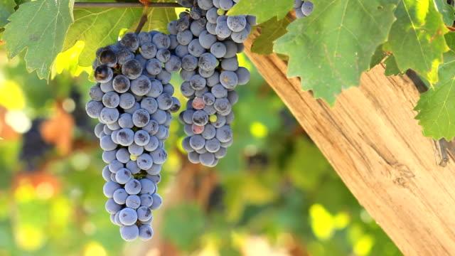 vídeos y material grabado en eventos de stock de uvas en la vid - uva cabernet sauvignon