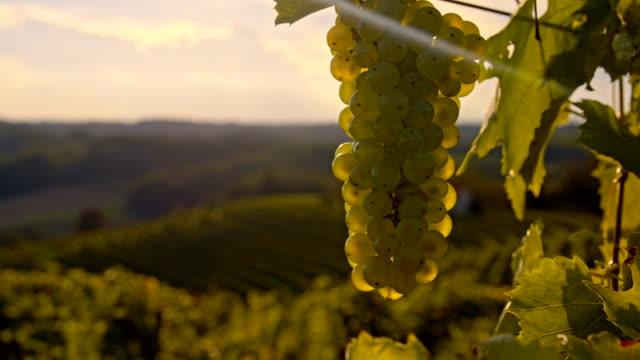 vídeos de stock, filmes e b-roll de cu ds uvas nas videiras - raw footage