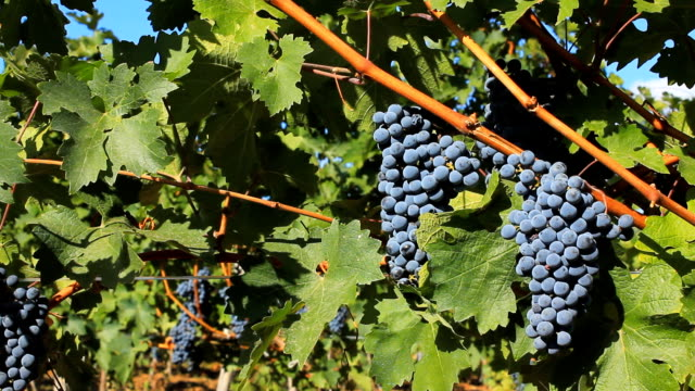 grapes on the vine - cabernet sauvignon grape stock videos and b-roll footage