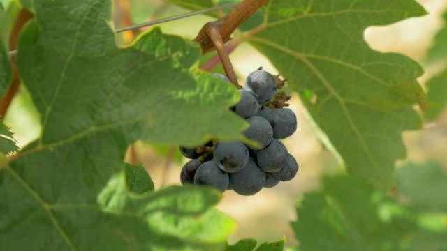 vídeos de stock, filmes e b-roll de grapes on the vine - vino