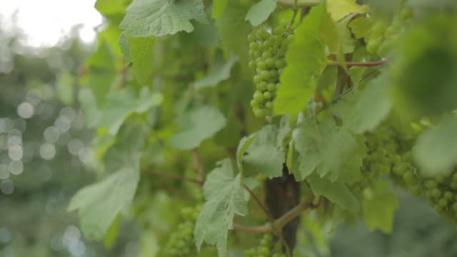 grapes on vine at sussex vineyard - sussex stock videos and b-roll footage