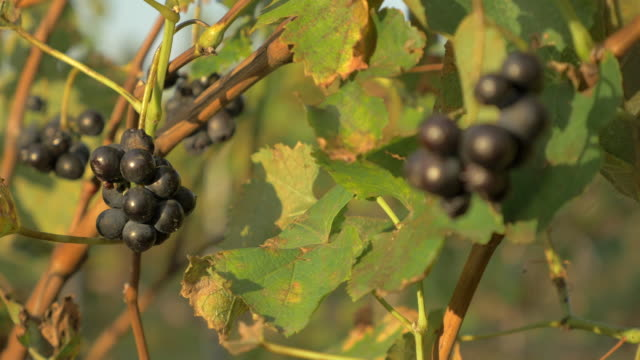 vídeos de stock, filmes e b-roll de grapes on vine, france - vino