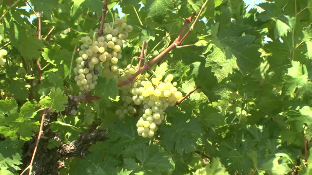 MS Grapes on vine / Limassol, Cyprus