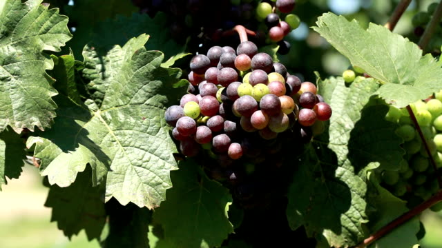 grapes on vine - grape leaf stock videos and b-roll footage