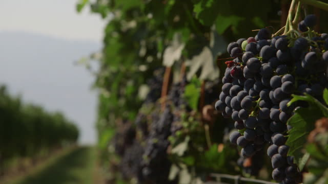 Grapes on vines in vineyard