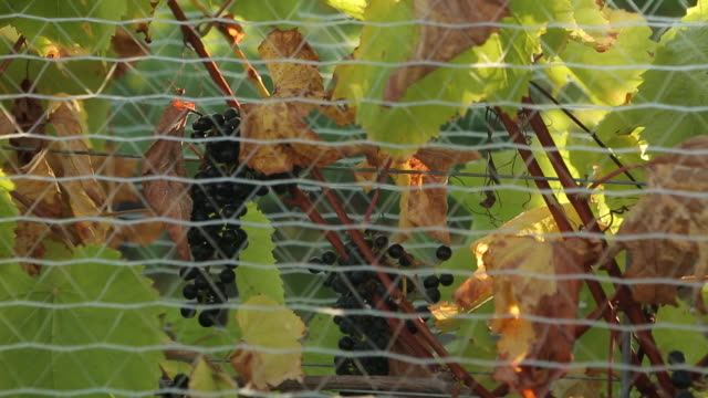 vidéos et rushes de grapes on vines in winery on sunny day - clôture