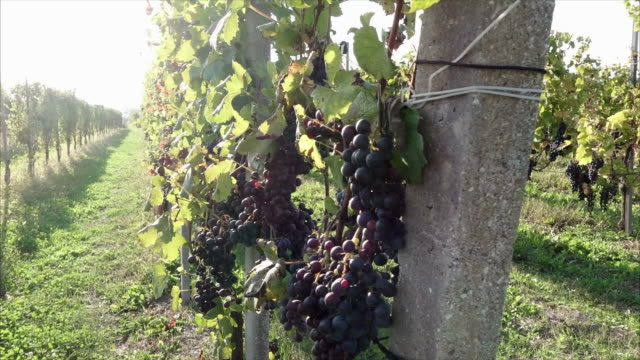 Grapes ready for harvest under the sun
