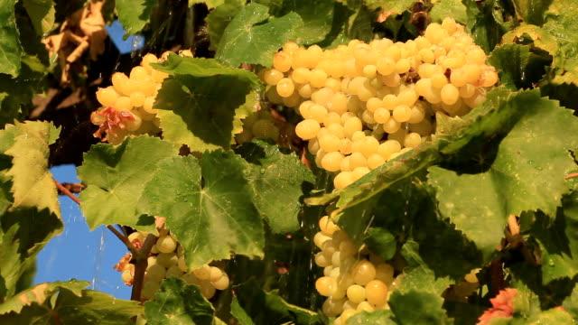 uve sotto la pioggia - vite flora video stock e b–roll
