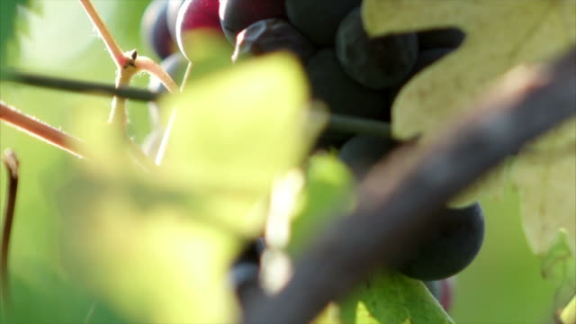Grapes under the sun close-up