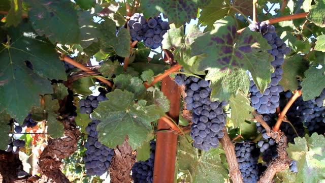 vídeos y material grabado en eventos de stock de uvas - uva cabernet sauvignon