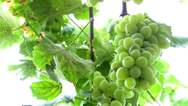 grapes - grape leaf stock videos and b-roll footage