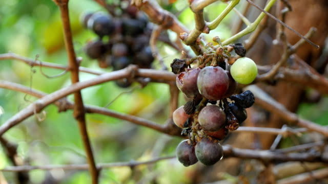grapes with disease
