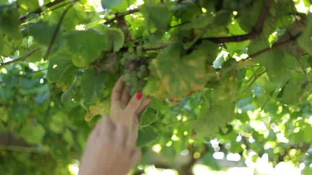 Grapevine crops with sun bath