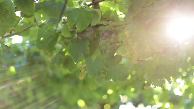 vídeos de stock e filmes b-roll de grapevine crops with sun bath - ramo parte de uma planta