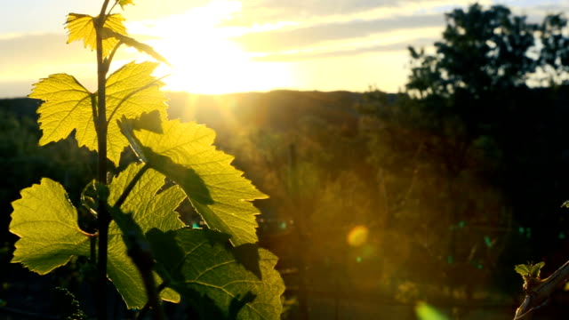 vídeos de stock e filmes b-roll de grapevine leaf at dusk - videira