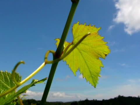 vídeos y material grabado en eventos de stock de grapevine hojas y vástago en el viento - hoja de la vid