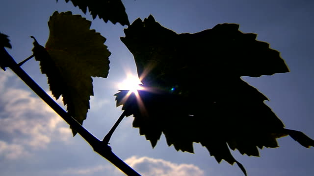 grapevine leaves and sun