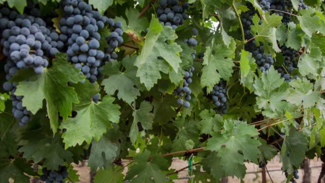 grapevine ripe grape clusters - cabernet sauvignon grape stock videos and b-roll footage