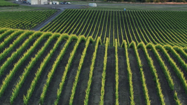 Grapevines Disappearing Over Hillside in California Vineyard - Drone Shot