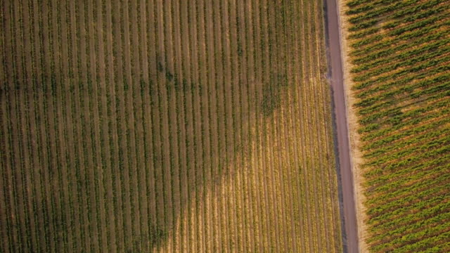 Grapevines Growing in Vineyard From Above