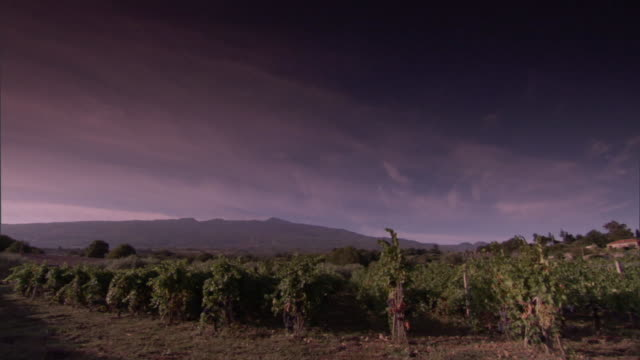 grapevines in a vineyard respond to a gentle breeze. - orticoltura video stock e b–roll